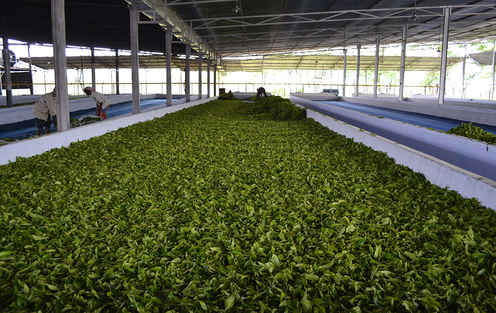 Assam-Tea-Factory