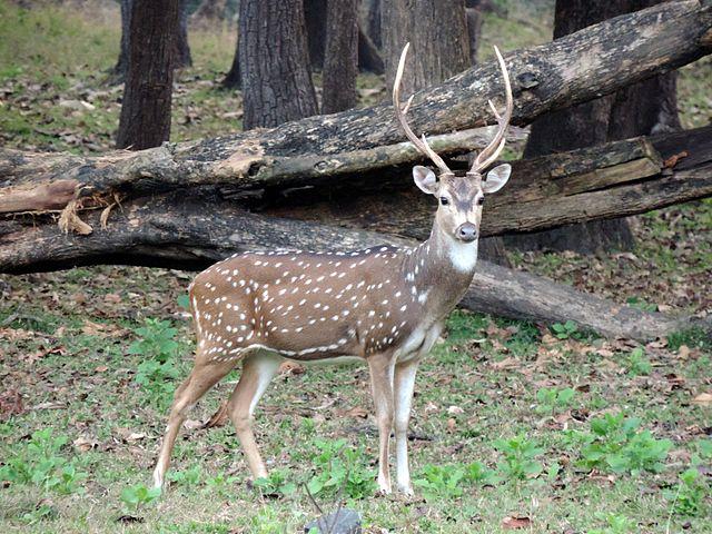 Bandhavgarh-National-Park-Spotted-Deer