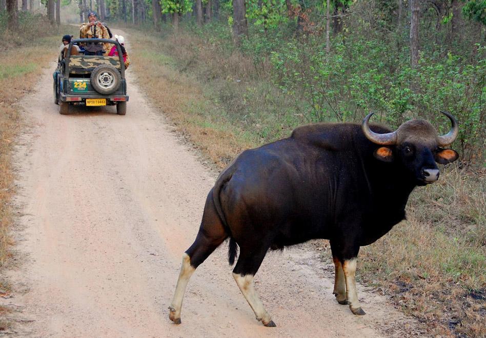 Indian-bison-kanha