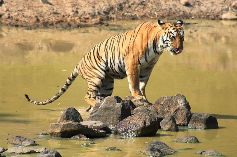 Royal Bengal Tiger at Tadoba Andhari Tiger Reserve